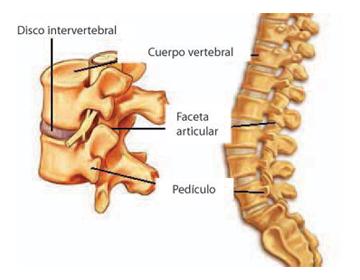 La columna vertebral el departamento de pecho los medicamentos